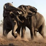 elephants-fight_1536326i