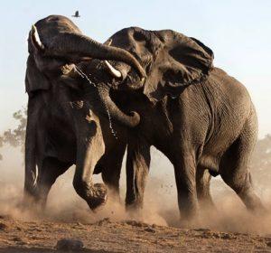 elephants-fight_1536326i