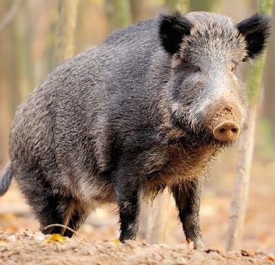 1382390406000-wild-pig