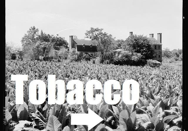 tobacco-field.jpg