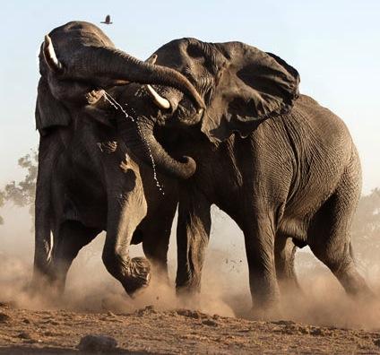 elephants-fight_1536326i.jpg